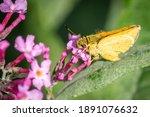Green Dart Butterfly  Romsey ...