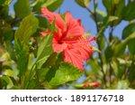 Blooms Red Hibiscus Rosa...