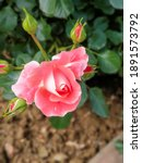 Pink Rose Blossom In Spring In...