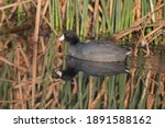 American Coot Swimming Near The ...