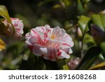 Variegated  pink and white...