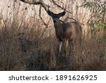 White Tailed Deer Young Buck...