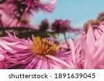 Pink Chrysanthemums On A Blurry ...