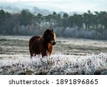 A Beautiful Wild Exmoor Pony...