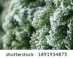 Backyard Garden All Seasons Green Thuja During Winter Time Extreme Low Temperatures. Plants Covered by Ice and Snow. Gardening and Landscaping Theme. - stock photo