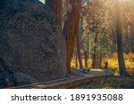Caucasian Teenage Girl Taking Pictures In Giant Sequoia National Park in the Sierra Nevada Mountains Staying in Front of Large Boulder. California, United States of America. Redwood Trees. - stock photo