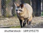 walking bat eared fox  otocyon... | Shutterstock . vector #189195275