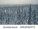 Dense spruce winter Arctic forest. Twilight in the mountain winter forest. Karelia.