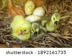 Three Newly Hatched African...