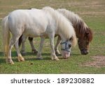 Dwarf Horse In The Park.