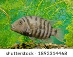 The Convict Cichlid ...
