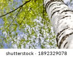 Blooming Birch Tree In A Sunny...