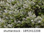 Beads Of Water On The Leaves Of ...