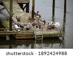 Group Of Brown Pelicans On A...