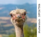 The Ostrich Or Common Ostrich ...