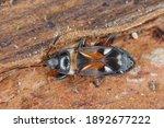 Elm Seed Bug. Close Up Portrait....