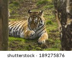 siberian  also known as the... | Shutterstock . vector #189275876