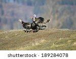 Wild Turkeys On A Hillside