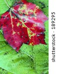 Small photo of Red Maple leaf in fall color (Acer rubrum).
