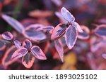 Beautiful Plant Hebe Veronica. ...