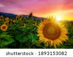 A selective focus shot of growing sunflowers in a field with a beautiful sunset in the background