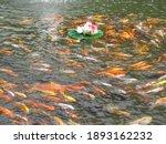 School Of Goldfish Streaming...