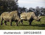 A Closeup Of Two White Rhinos...