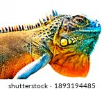 Colorful Iguana In Detail...