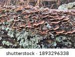Shelf Mushroom And Lichen On A...