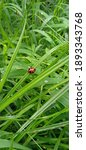A Ladybugs In The Grass