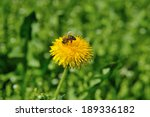Dandelions And Bee
