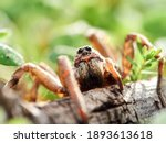 Wolf Spider In A Naturale...