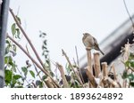 Sparrows On The Branches Of...