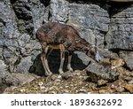 Moufflon Female On The Slope....