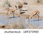 Springbok Antelope at Etosha National Park in Nambia, Africa - stock photo