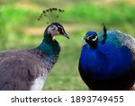 Two Cute Peacocks  Male And...
