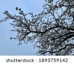 Barren Tree Covered In Newly...