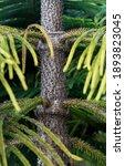 Small photo of Norfolk spruce trunk, Norfolk island pine