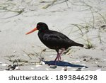Oystercatcher On The Beach Of...