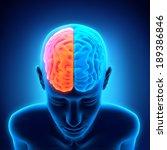 human brain anatomy | Shutterstock . vector #189386846