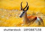 Small photo of Wild african animals. The springbok (medium-sized antelope) in tall yellow grass. Etosha National park. Namibia