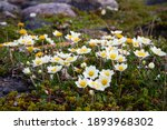 Small photo of Arctic mountain avens or alpine dryad, forming a large colony of plants on the arctic tundra that are round-hugging and thrive in the cold