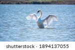 Small photo of Graceful white Swan swimming in the lake and flaps its wings on the water. White swan is flapping its wings above calm blue water surface background. The mute swan, latin name Cygnus olor.