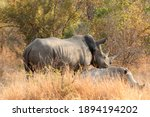 Two Rhinos On Dry Grass In A...