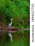 Grey heron or ardea cinerea on...