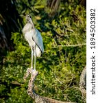 Tall  Proud Wood Stork Poses On ...