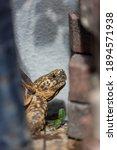 Star Indian Tortoise Portrait...