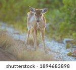 Full Body Baby Key Deer...