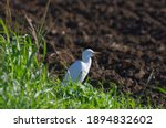 Small Of A Cattle Egret In A...