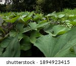Small photo of Sweet potato leaves in Pak Tani's rice fields are green and thrive